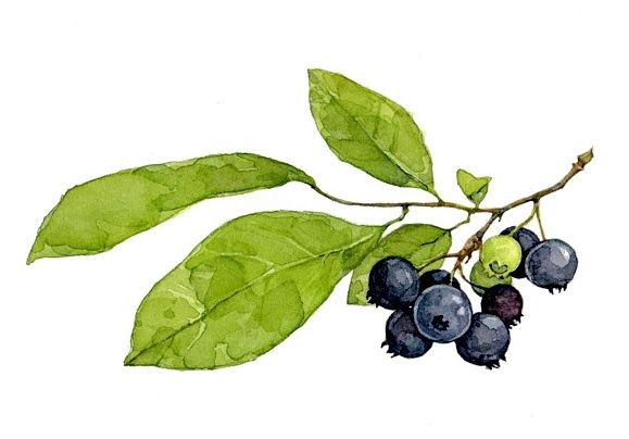 Custom Blueberries Botanical Watercolor Painting By David