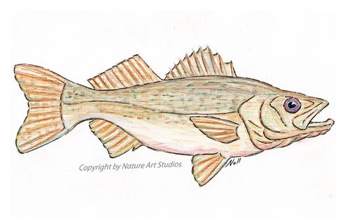 Custom Made Art Card With Walleye Pike Fish Drawing