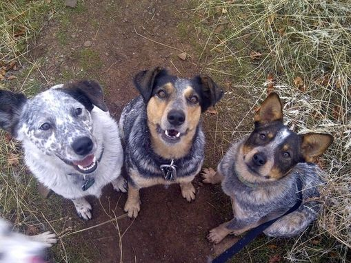 Custom Made A Lunacy Of Cattle Dogs