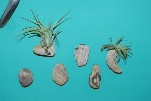 Custom Made Air Plant Magnets - Set Of 6 Magnets - Driftwood Magnets With Air Plant