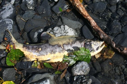 Custom Made Fine Art Photograph Of Spawned Out Salmon