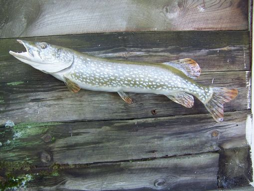 Custom Made Northern Pike