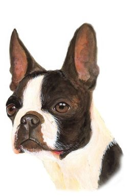 Custom Made Boston Terrier