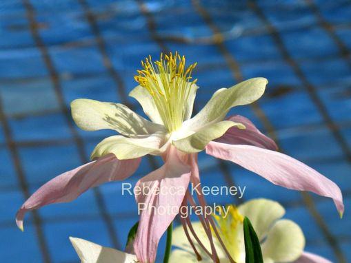 Custom Made Photo Print, Pink And Cream Columbine, 11 X 14, Blue Background Creates Contrast