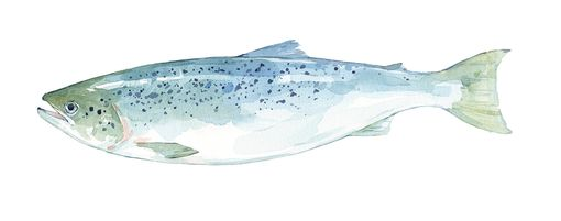 Custom Made Original Fish Watercolor Painting