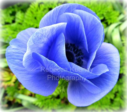Custom Made Photo Print, Blue Poppy, 11 X 14, Slightly Edited Photo Almost Appears 3d