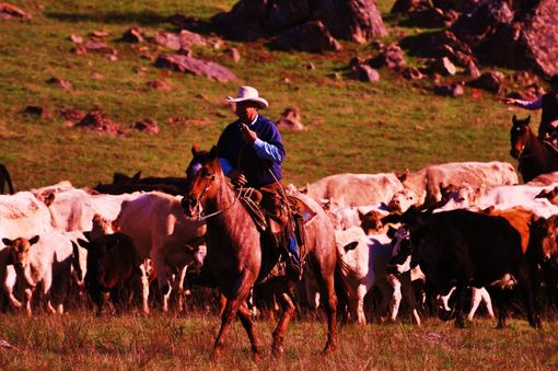 Custom Made Fine Art Photograph Of Denny Daoust Herding Cattle