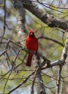 Custom Made Red Bird, Photography For Wall Hanging