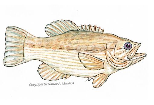 Custom Made Art Print With Spotted Bass Watercolor And Ink Drawing