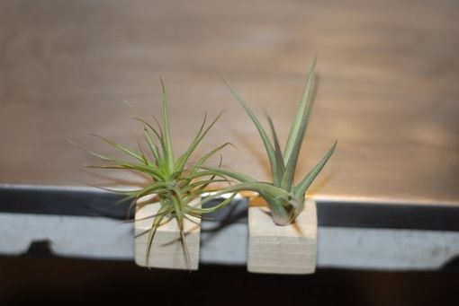 Custom Made Natural Wood Block Magnet With Air Plant - Set Of 2 - Air Plant Magnets