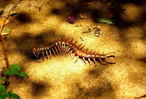 Custom Made Copper Centipede Sculpture